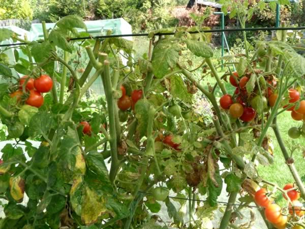 Comment faire pousser des tomates awesome arrosage - Faire pousser des tomates ...